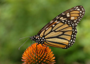 monarch butterfly danaus plexippus on echinacea purpurea