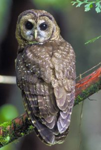 northern_spotted_owl-usfws-thumb