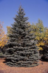 picea_pungens_tree